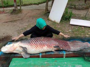 Ikan Arapaima Sungai Amazon yang Mati di Batam Dikafani Sebelum Dikuburkan