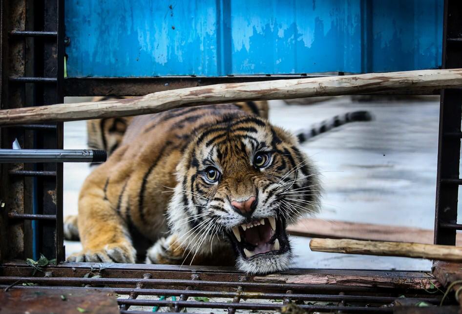 Harimau yang Tertangkap di Muaraenim Kini Sudah di Lampung