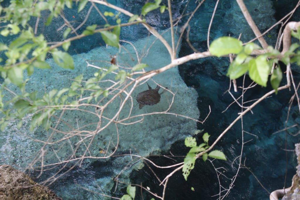 Si Bento, Penyu Tua Penghuni Danau Moko di Tongkuno Muna. (foto: istimewa)