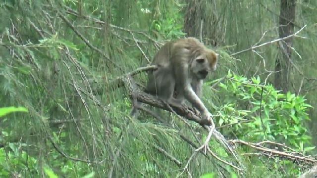 Musim Hujan Monyet Ekor Panjang Khas Bromo Banyak Ditemui di Jalanan dan Pura Untuk Mencari Makan