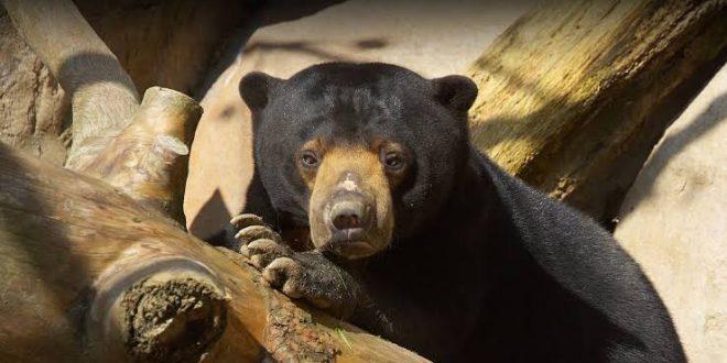 2 Beruang Madu Lepas di Yogyakarta, Pengelola WRC Mengaku Teledor