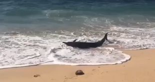 Seekor Lumba-lumba Terdampar di Pantai Nusa Dua dengan Perut Terluka