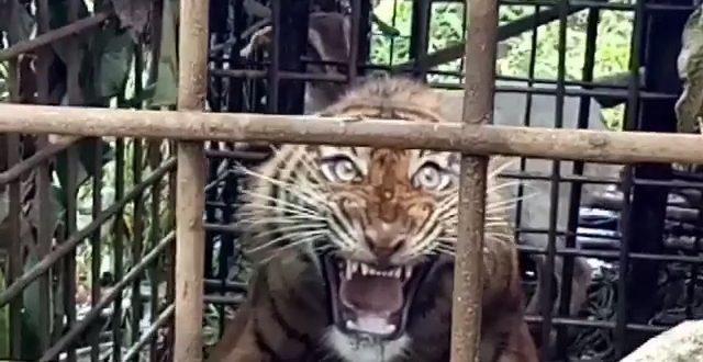 Seekor Harimau Sumatera Muda Ditangkap Warga Solok Setelah Masuk Perangkap