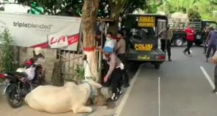 Sapi Kurban Ngamuk Seruduk Polisi di Blitar, Tewas Setelah Ditembak