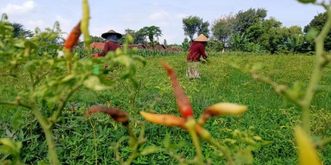 Disaat Harga Cabe Mahal, Tanaman Cabe Rusak Petani Di Kota Probolinggo Mengeluh